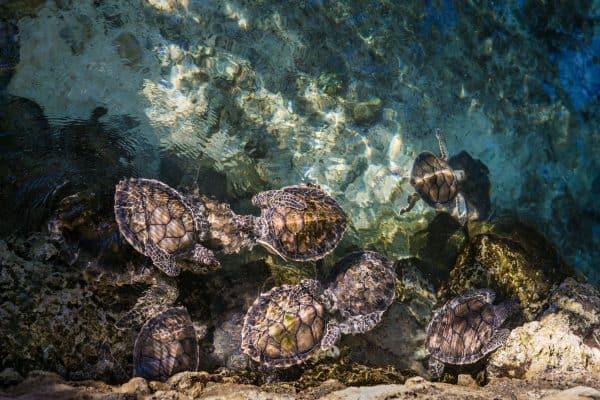 loggerhead sea turtles in mexico
