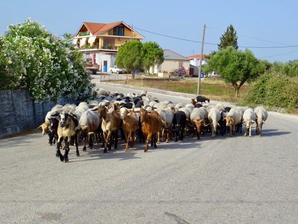 Goats in Kefalonia